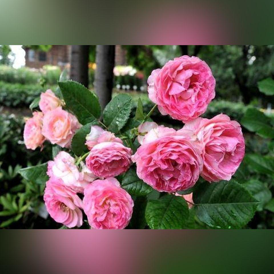 Роза Мадам де Сталь (Mme de Stael )