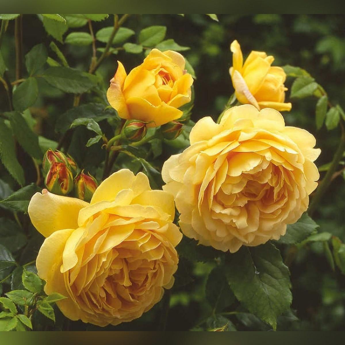 Роза Голден Селебрейшн (Golden Celebration)