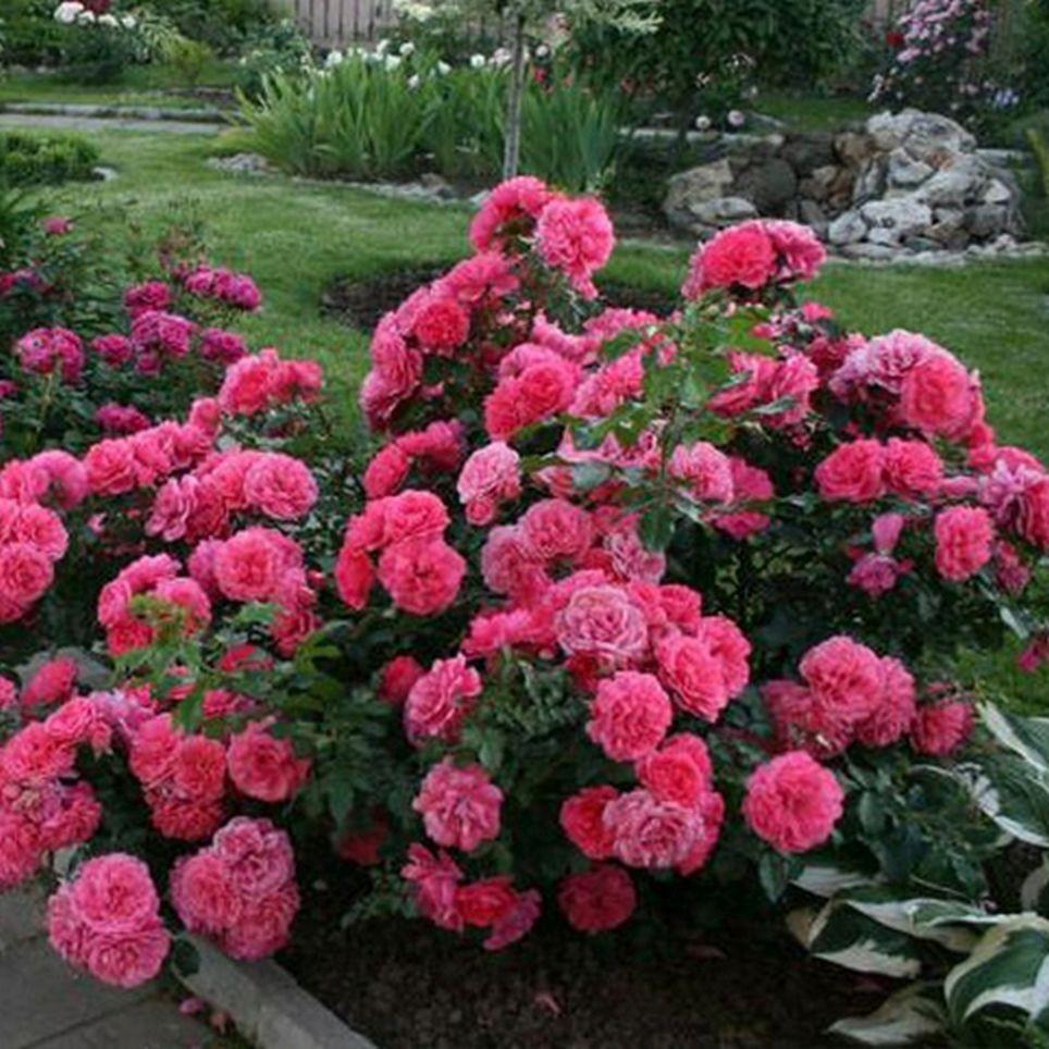 Роза Розариум Ютерзен (Rosarium Uetersen)