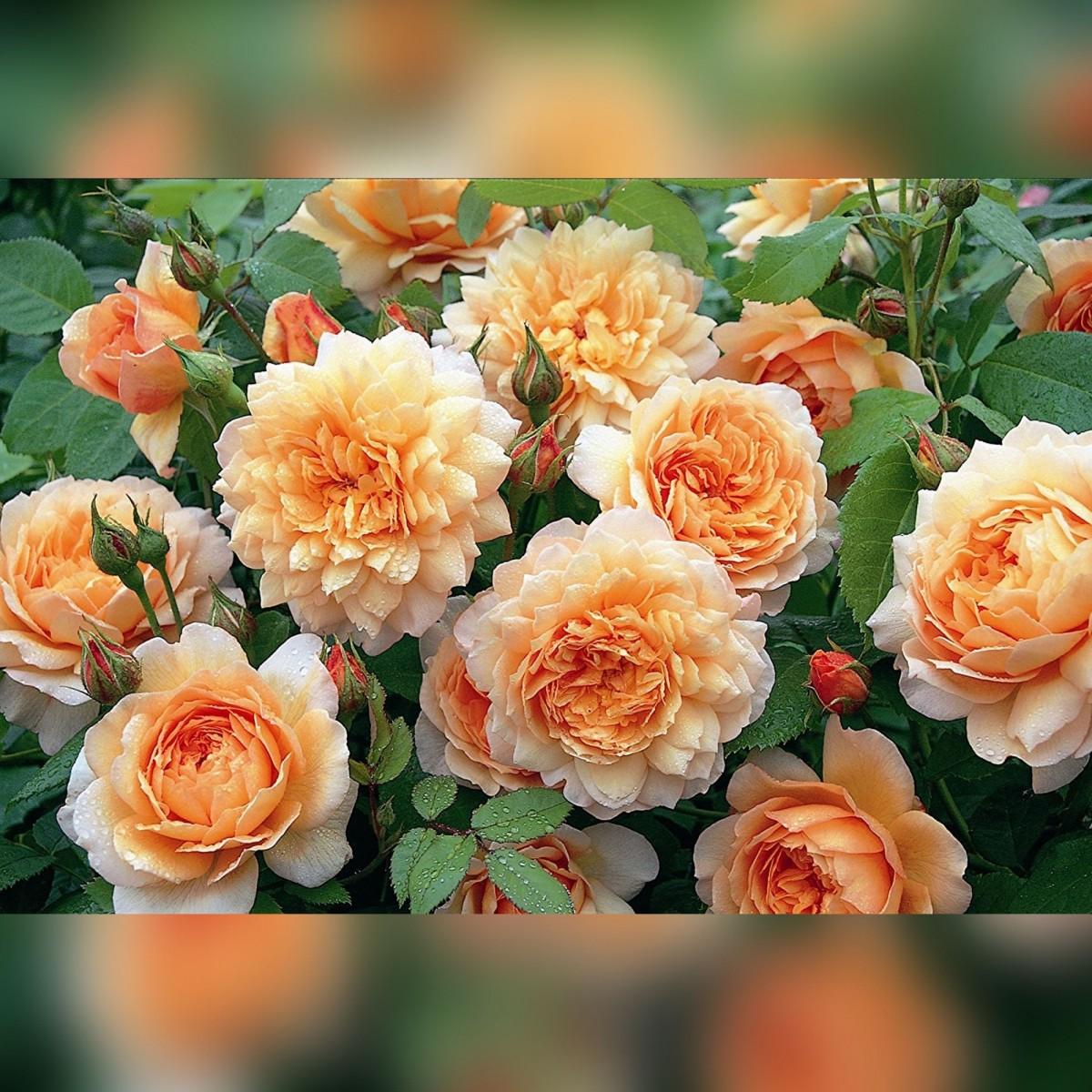 Роза Грейс (Grace)