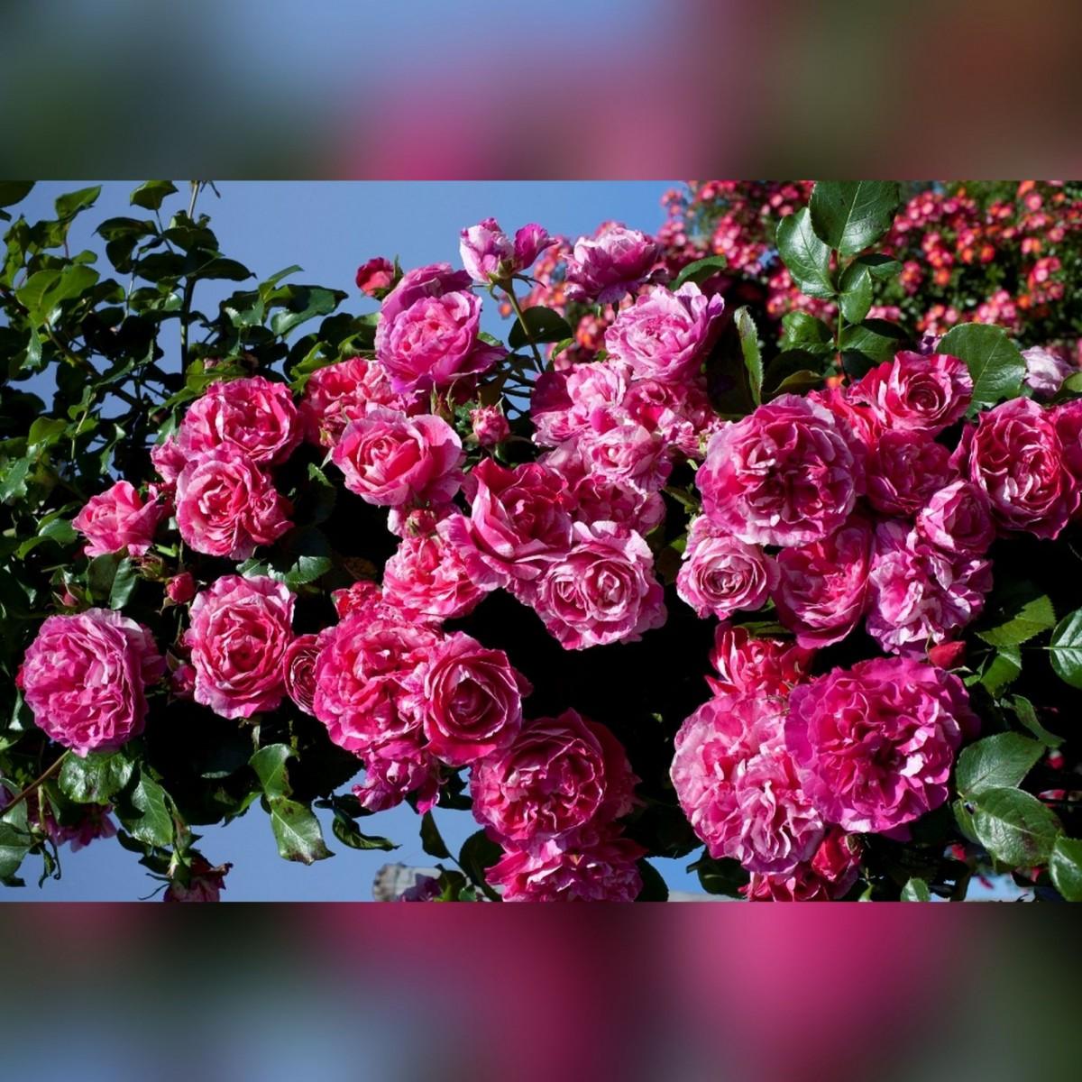 Роза Инесс Систер (Ines Sastre)