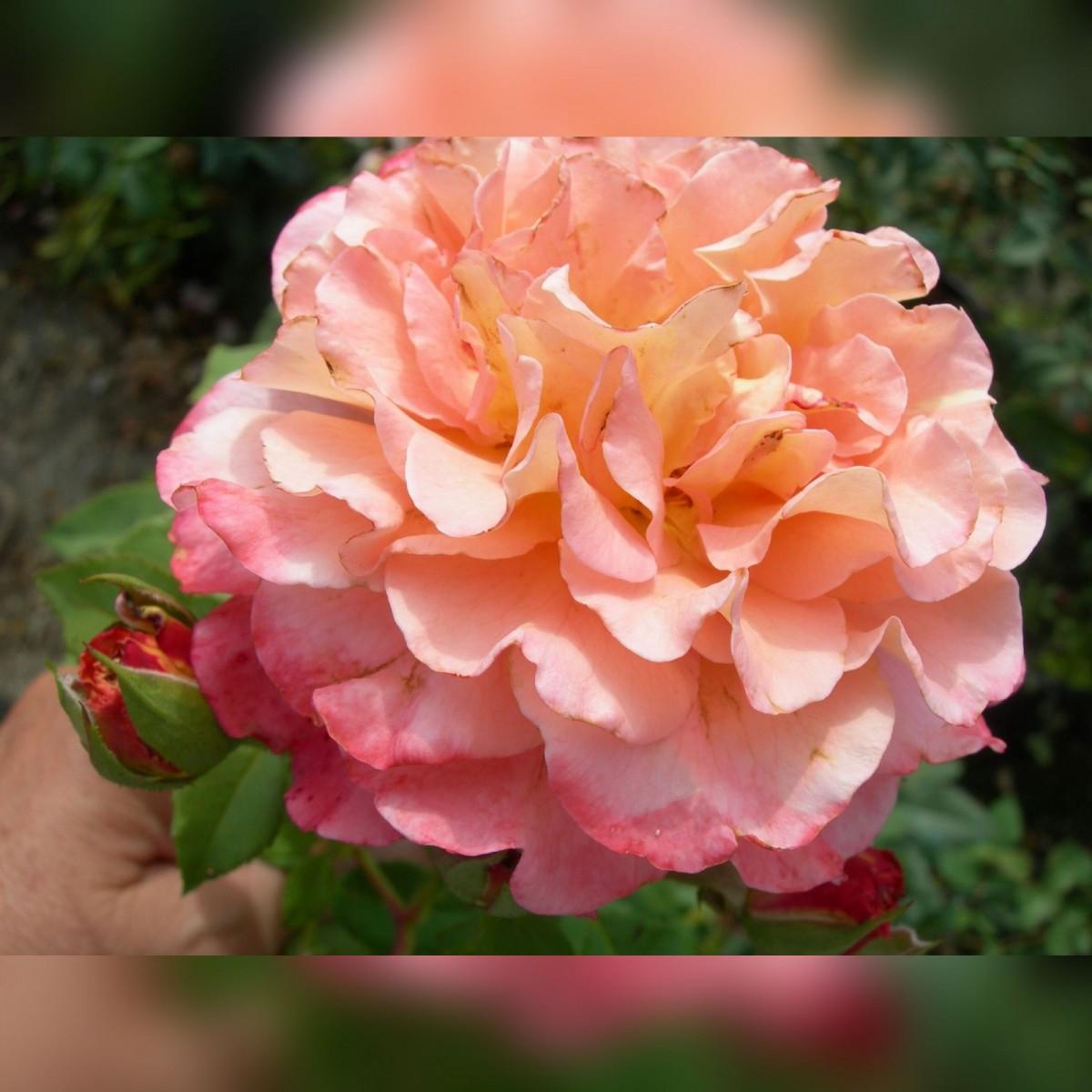 Роза Августа Луизе (Augusta-Louise)