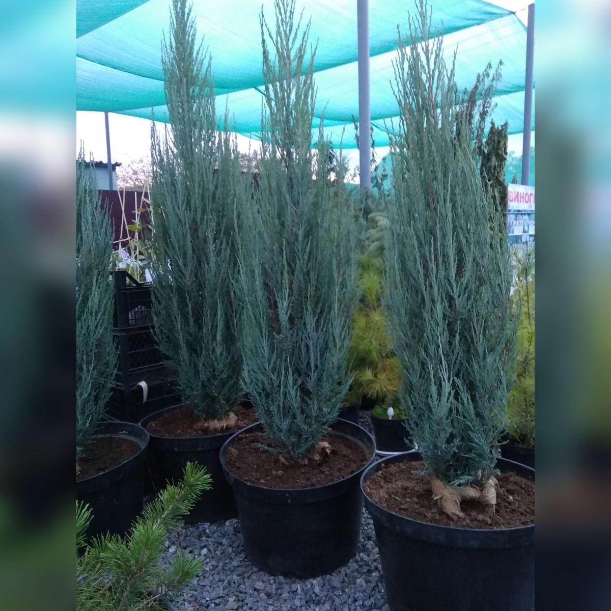 Можжевельник Блу Эрроу (Juniperus scopulorum Blue Arrow)