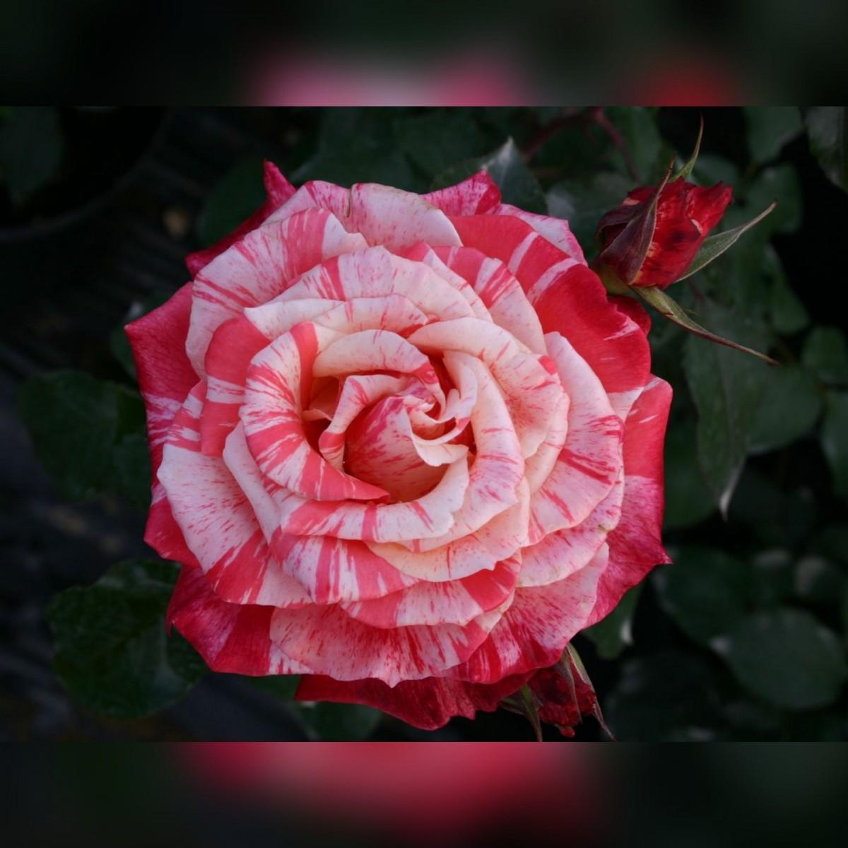 Роза Филателия (Philatelie)