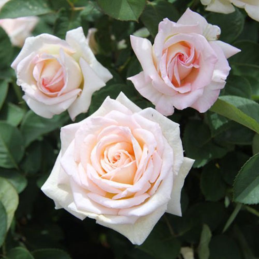 Роза Софи де Мейян (Sophie de Meilland)