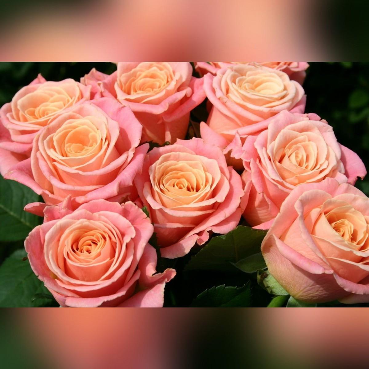 Роза Мисс Пигги (Miss Piggy)