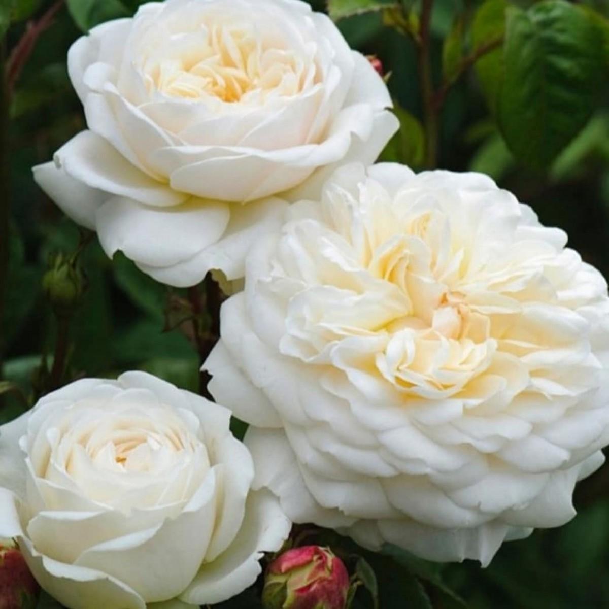 Роза Транквилити (Tranquillity)