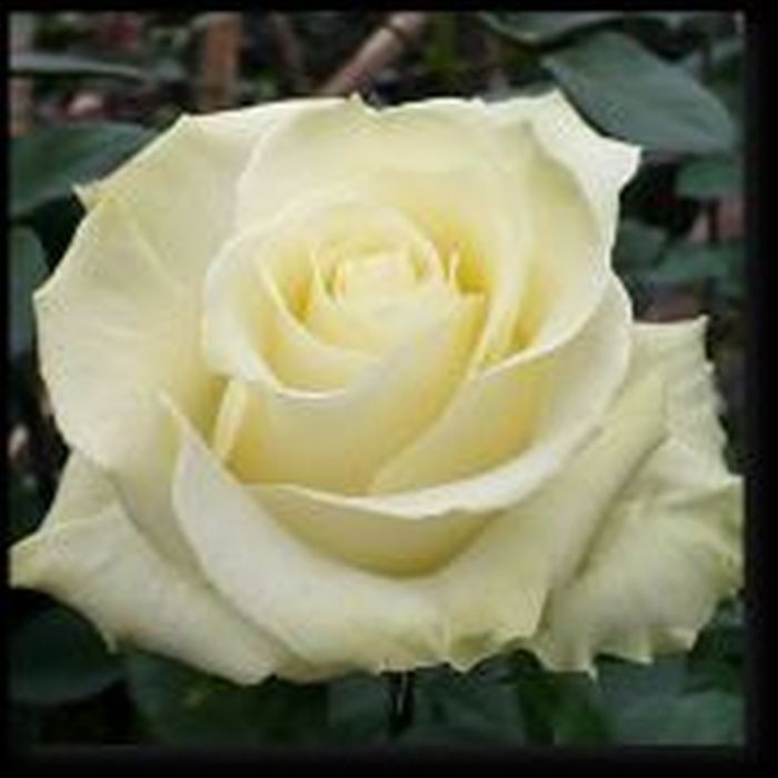 Роза Мондиаль (Mondiale)