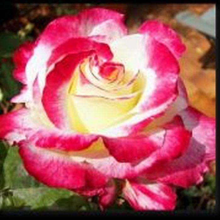 Роза Двойное Удовольствие (Double Delight)