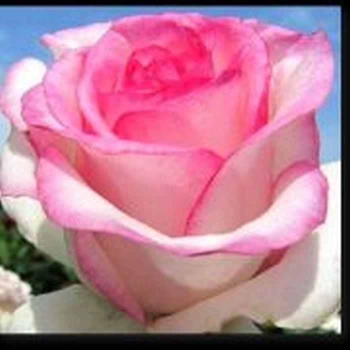 Роза Дольчевита (Dolce Vita)