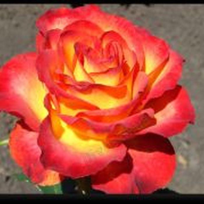 Роза Золотая Магия (Golden Magic)