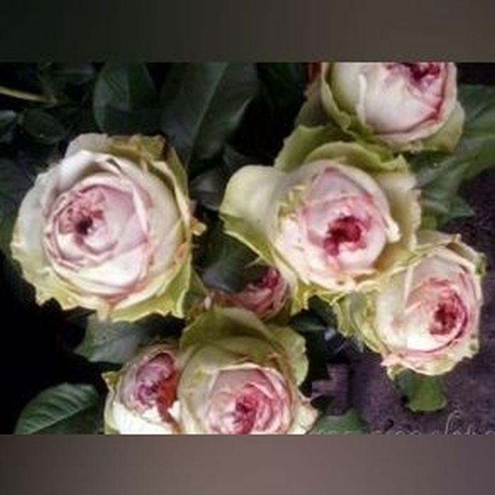 Роза Питахайя (Pitahaya)