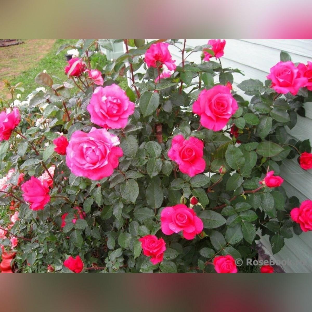 Роза Малиновый звон (Big Purple)
