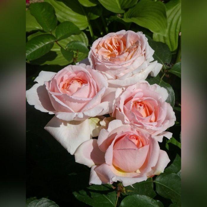 Роза Андре Ле Нотр (Andre Le Notre)