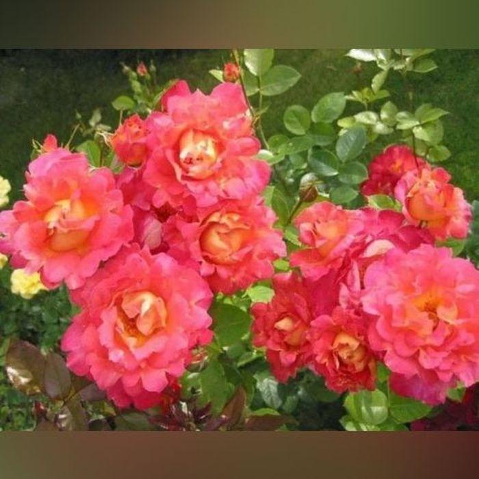 Роза Декор Арлекин (Decor Arlequin)