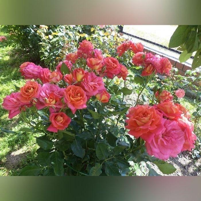 Роза Мидсаммер (Midsummer)