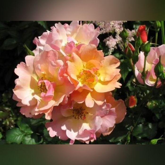 Роза Джаз (Jazz)