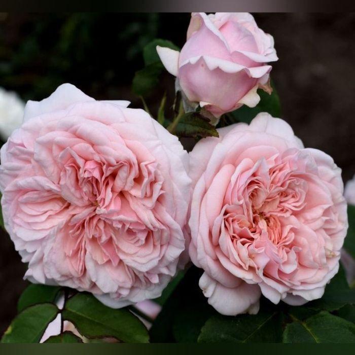 Роза Клэр Роуз (Claire Rose)