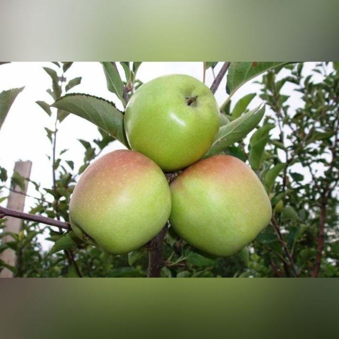 Яблоня Корей
