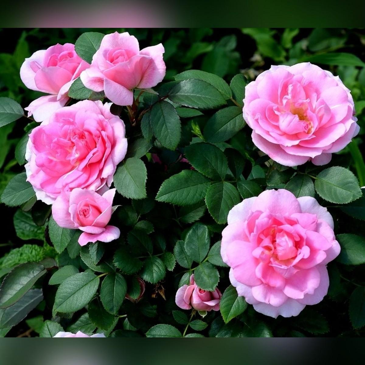 Роза Прейри Джой (Prairie Joy)