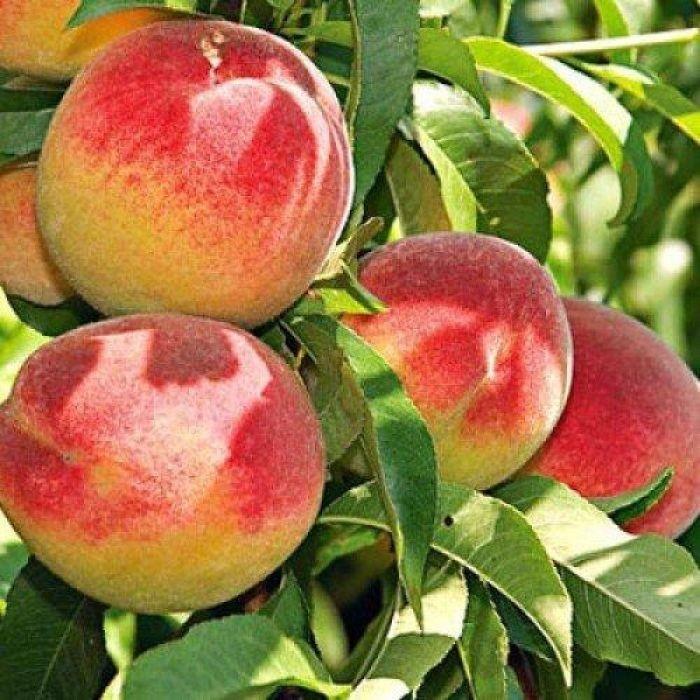 Персик Красная горка