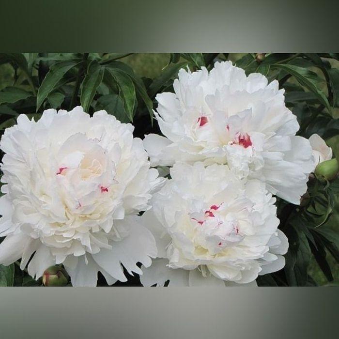 Пион белый  «Фестива Максима»