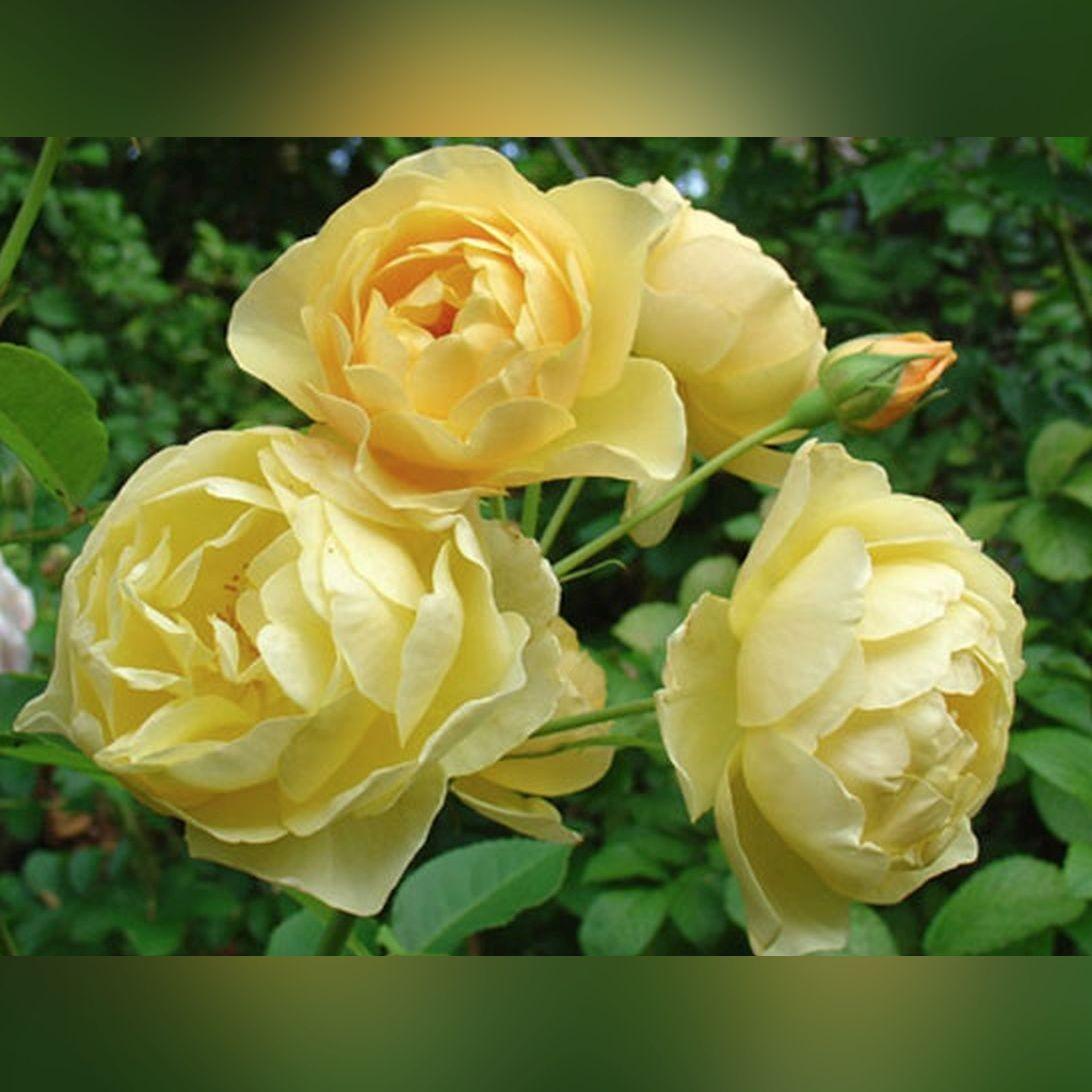 Роза Джон Коннелл (J.P.Connell)