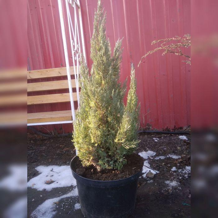 Можжевельник китайский Вариегата (Juniperus chinensis Variegata)