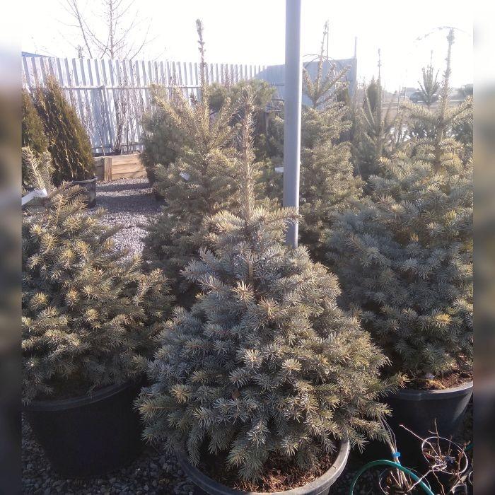 Ель колючая голубая Глаука (Picea pungens Glauca)