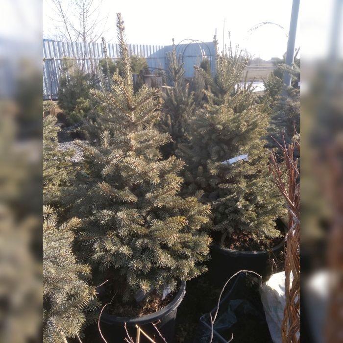Ель колючая зеленая  Глаука (Picea pungens Glauca)
