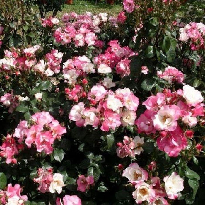 Роза Глаза феи (Occhi di Fata)