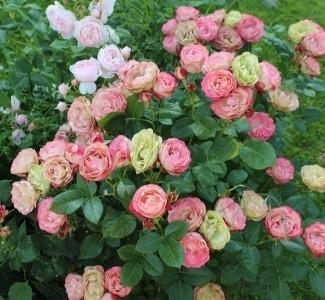 Роза Акрополис