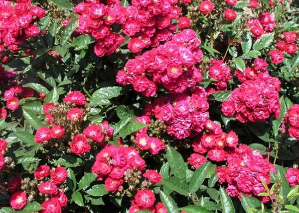 Роза Альберих (Alberich)