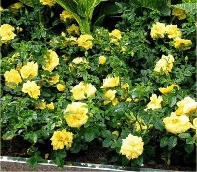 Роза Жёлтая фея (YellowFairy)