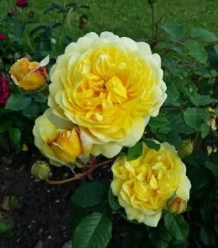 Роза ЖЕНА ПОЭТА (ThePoetsWife)