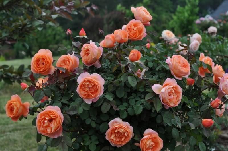 Роза Леди Шалотт (LadyofShalott)