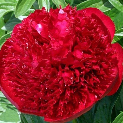Пион Рэд Шарм (Red Charm)