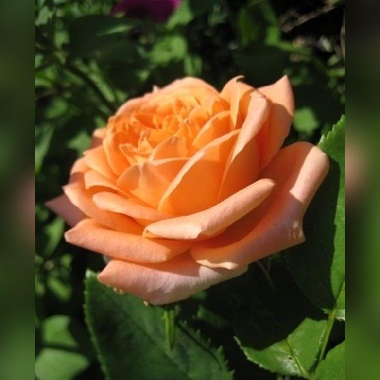 Роза Вуду (Voodoo)