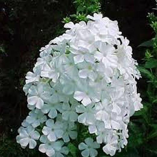 Флокс метельчатый Уайт (White)