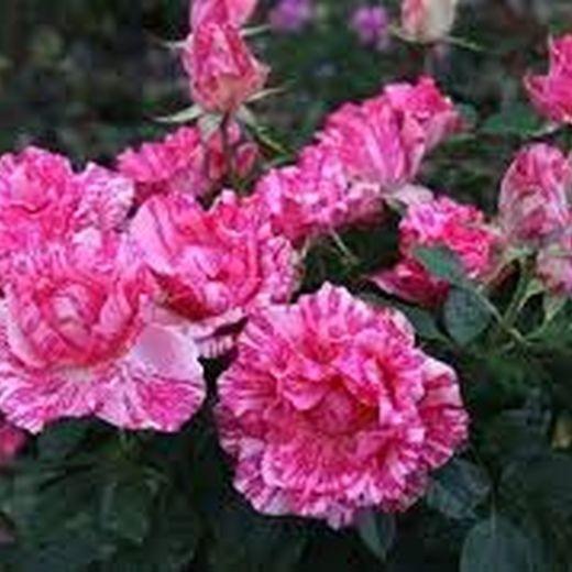 Роза Пинк Интуишен (Pink Intuition)