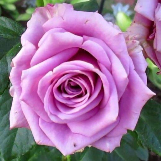 Роза Кул Вотер (Cool Water)