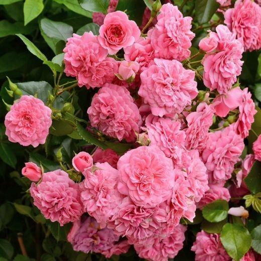 Роза 4 Сезона (Les Quatre Saisons)