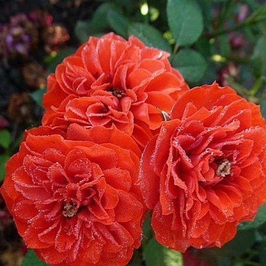 Роза Саша (Sashe)