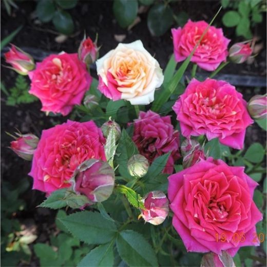 Роза Чили Клементина (Chili Clementine)