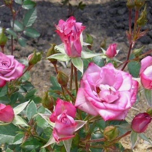 Роза Билона (Bilona)