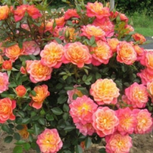 Роза Мандаринка (Mandarin)