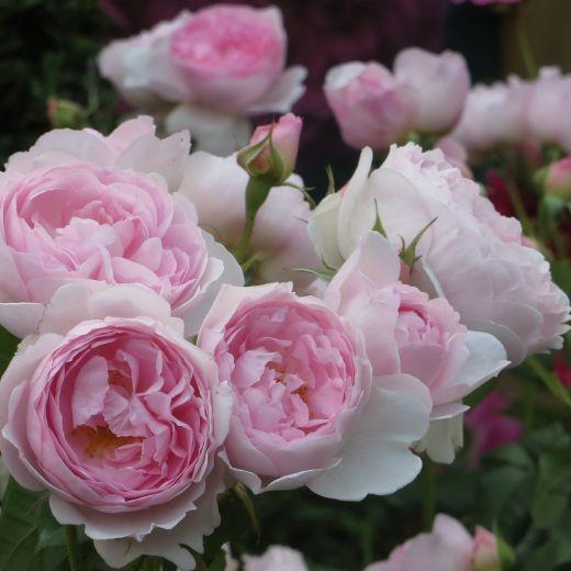 Роза Септе д'айл (Scepter'd Isle)