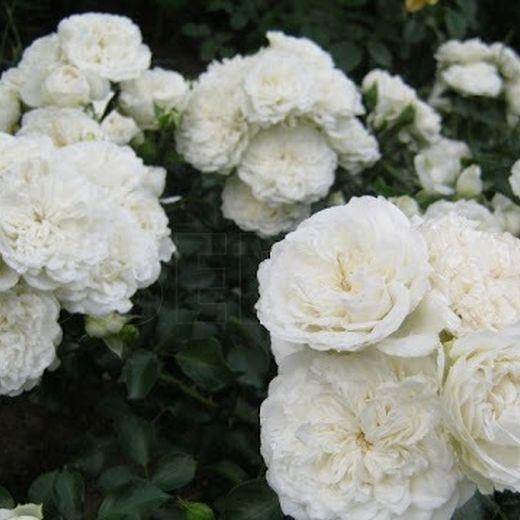Роза Уайт Мейдиланд (White Meidiland, Blanc Meillandecor)