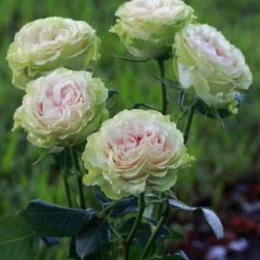 Роза Бланшет (Blanchette)