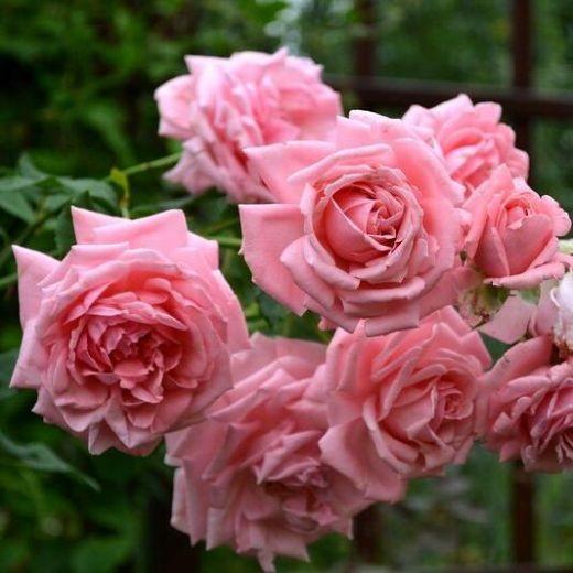 Роза Корал Даун (Coral Dawn)